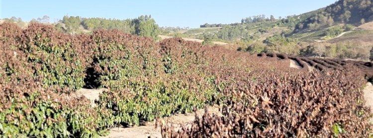 Geada atingiu 173.679 hectares no Sudoeste de Minas