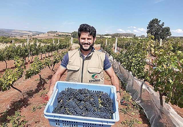 Safra mineira promete bons vinhos